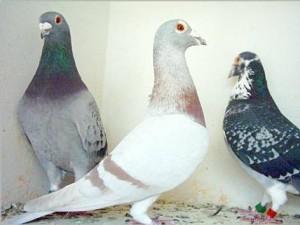 Viva La Pigeon