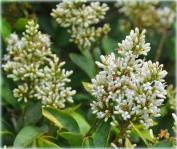 closeup-of-fragrant-flower-on-bush